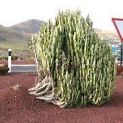 Esemplare di Euphorbia trigona in piena terra