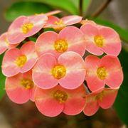 Fiori di Euphorbia milii