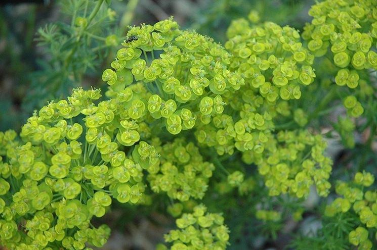 Varietà di Euphorbia cipressina
