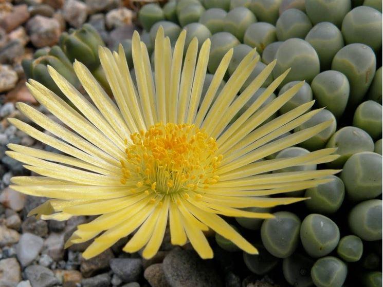 Fiore della Fenestraria