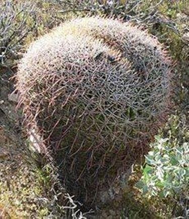 ferocactus1