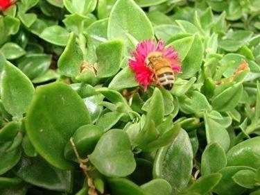 Ape sul fiore di una Aptenia