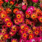 mesembriantemo fiori