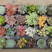 immagini piante grasse