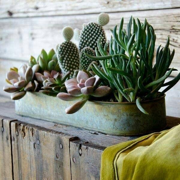 Innaffiare piante grasse - Piante grasse - Come innaffiare le succulente