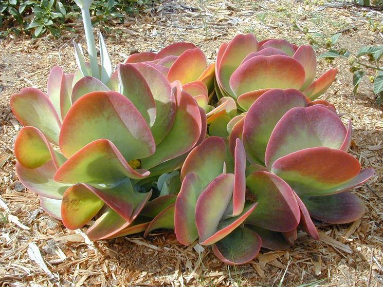 Kalanchoe cura piante grasse come curare la kalanchoe for Piante grasse senza spine
