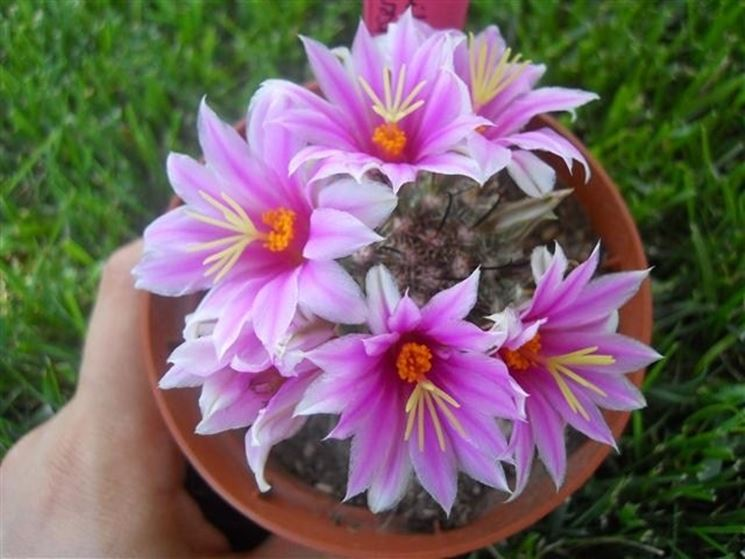 Bellissima fioritura di blossfeldiana