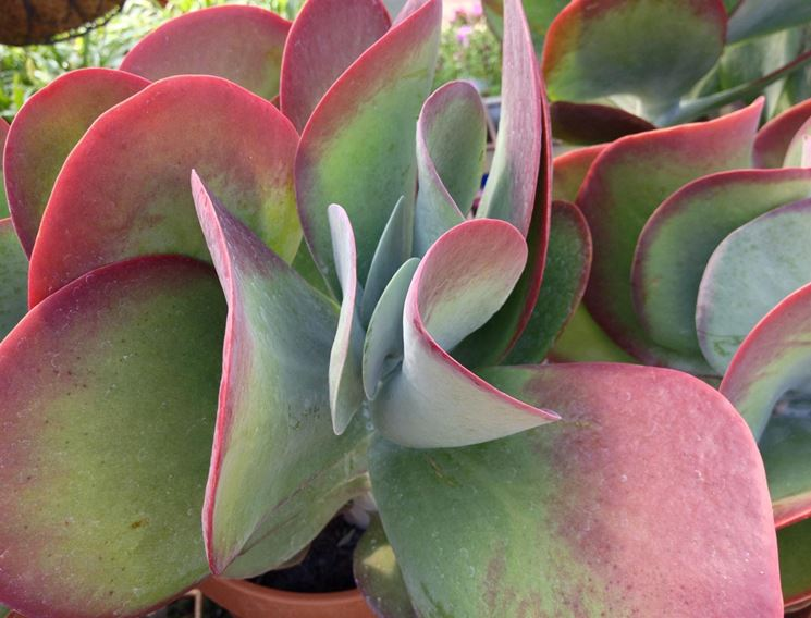 kalanchoe thyrsiflora piante grasse pianta grassa