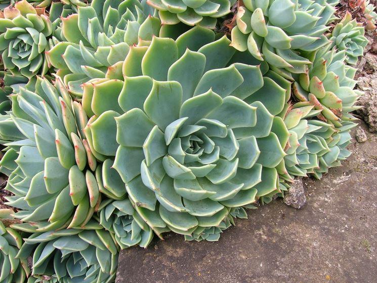L 39 echeveria piante grasse coltivazione echeveria for Piante grasse in giardino