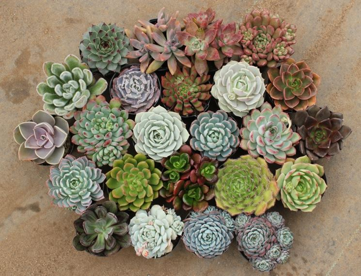 Bellissime piante grasse a rosetta