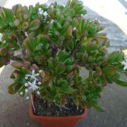 Crassula pianta