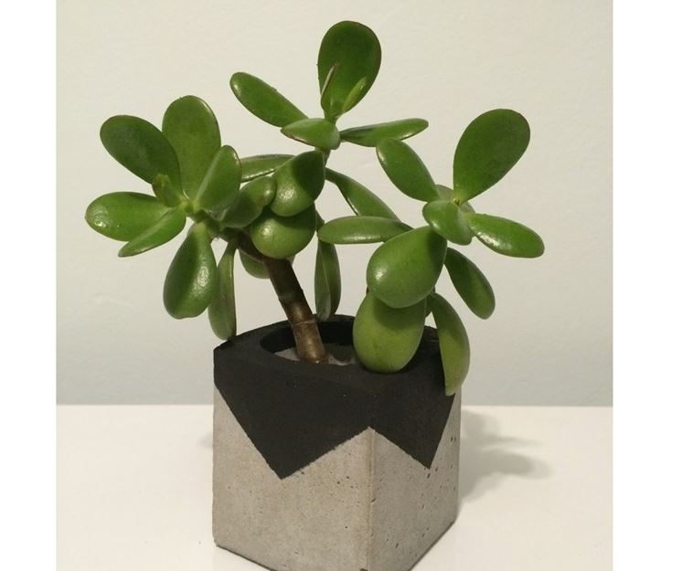 Piantina crassula