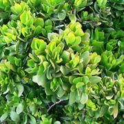 pianta crassula