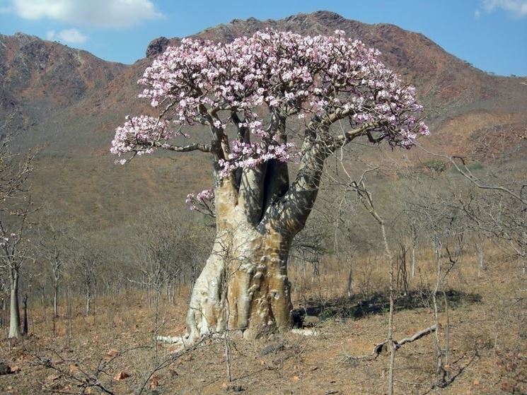 Rosa del deserto fotografata nel suo ambiente naturale