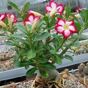 pianta rosa del deserto
