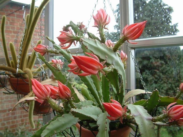 lingua di suocera dai fiori rossi