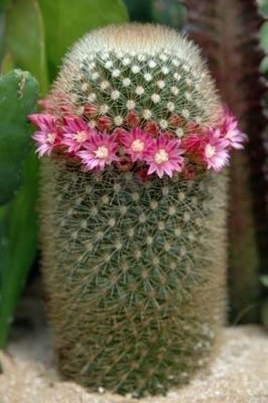 mammillaria con fiori