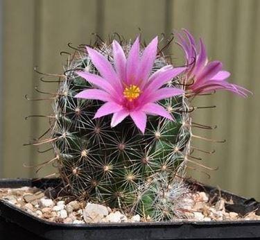 mammillaria grandi fiori
