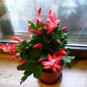 Esemplare di Natalina in vaso
