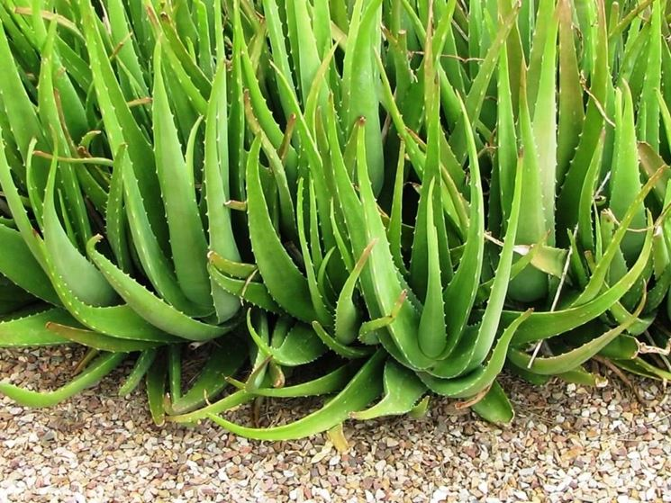 Una pianta di aloe