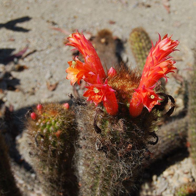 I tipici fiori del Cleistocactus