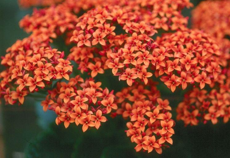 Pianta grassa con fiori rossi - Piante grasse - Succulenta con fiori