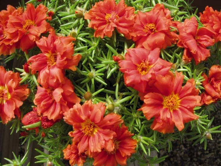 pianta grassa con fiori rossi piante grasse succulenta