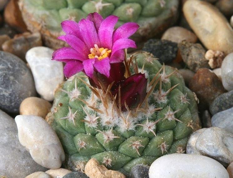Pianta in fiore di Strombocactus disciformis
