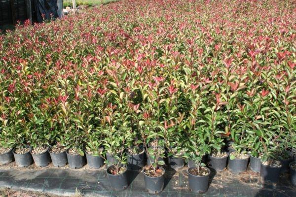 Piante da siepe in vaso piante grasse siepe in vaso - Siepi da giardino fiorite ...