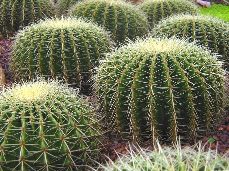Gruppo di cactus