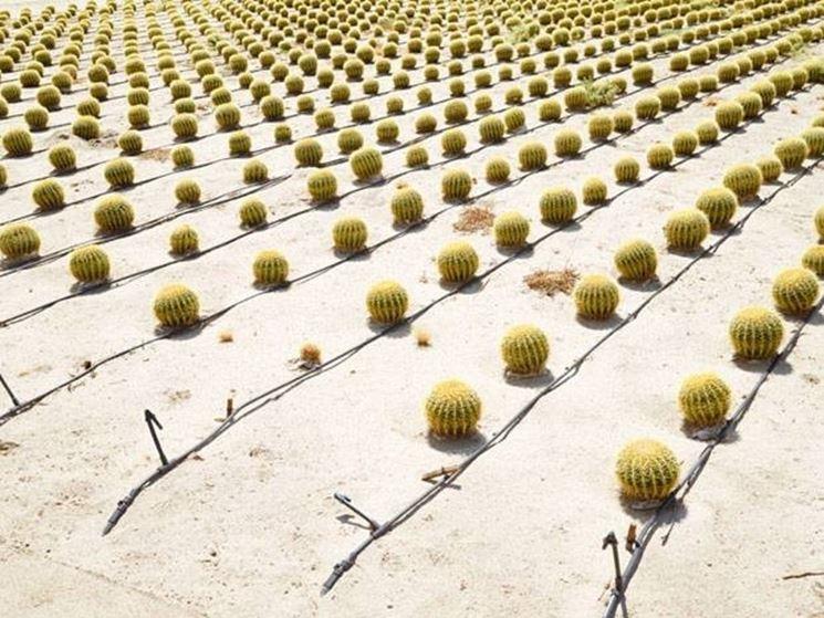 Coltivazione di cactus