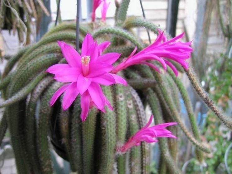 Fiore di Aporocactus flagelliformis