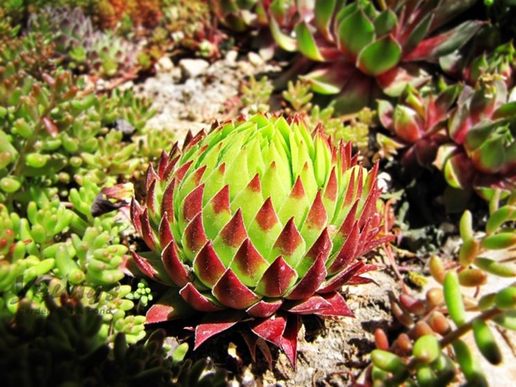 Bellissimo esemplare di pianta grassa