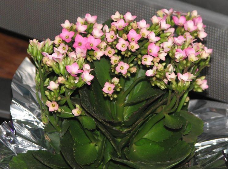 Pianta grassa con fiori