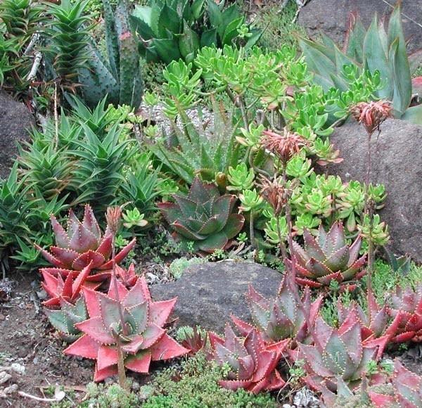 Piante grasse cura piante grasse come curare le piante for Piante grasse in giardino
