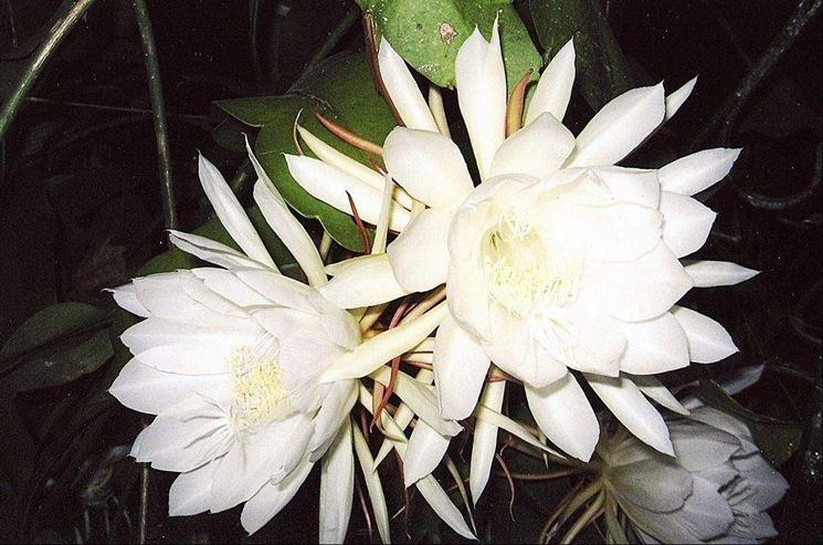 Incantevoli fiori di Cereus