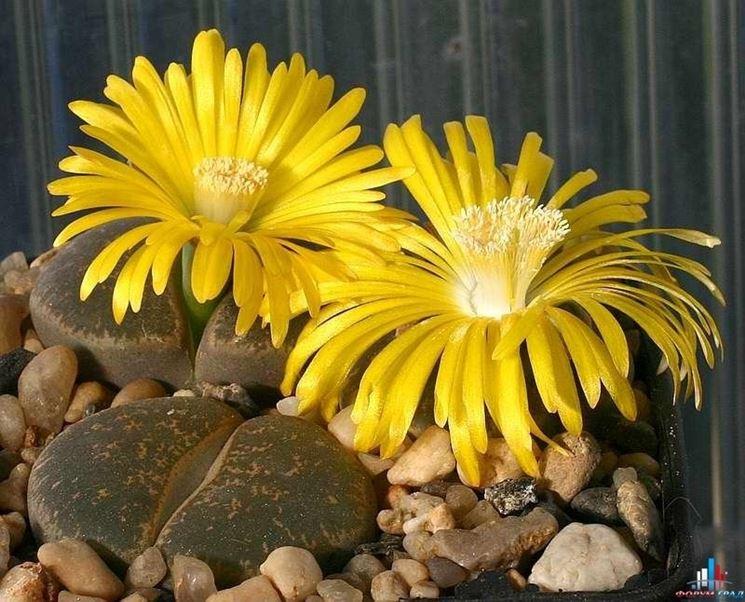 I Lithops, i fiori nei sassi