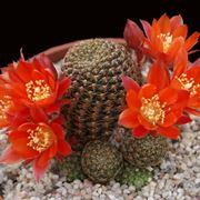 Pianta in fiore di Rebutia Cajasensis