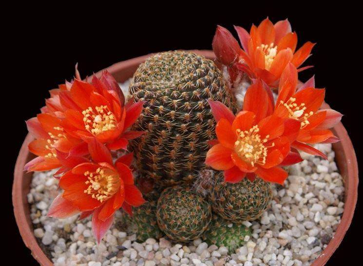 Piante grasse fiorite - Piante grasse - Tipologie di piante grasse