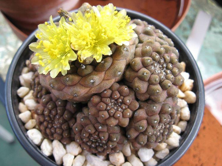Fiori della pianta di Copiapoa