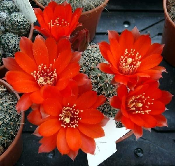 Pianta Grassa Con Fiori Arancioni. Echeveria Pubescens U Le Sue Rosette Sono Di Colore Verde ...