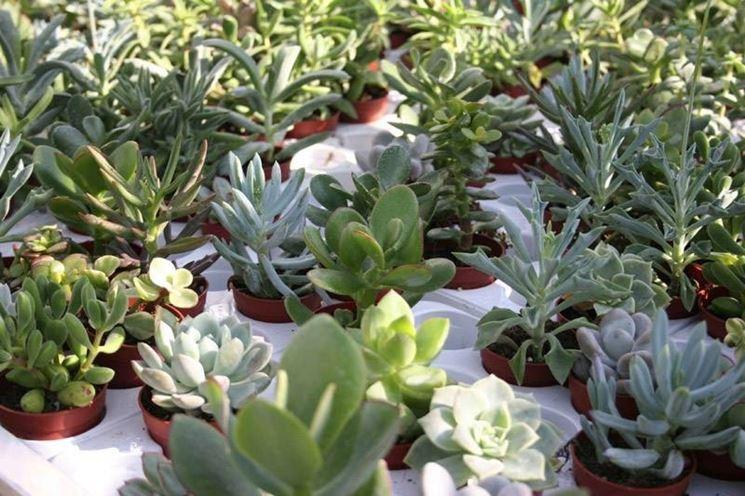 Varie specie di piante grasse