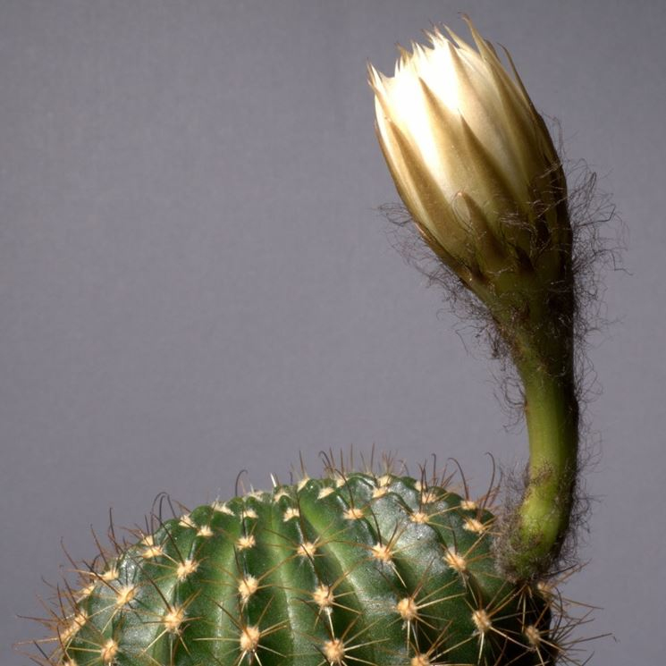 Echinopsis ancistrophora