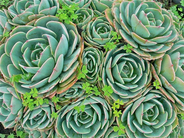 Piante succulenti: causa comparsa malattie