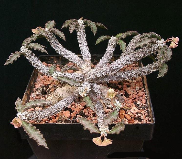 Euphorbia Ambovombensis pianta grassa