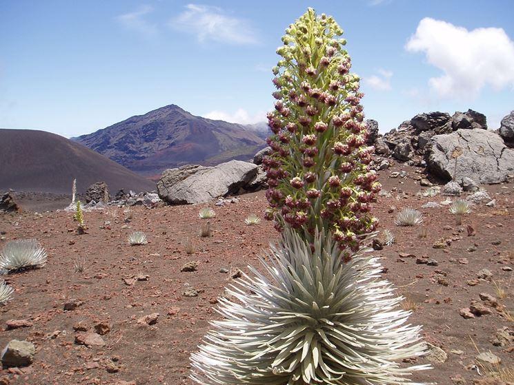 Esemplare di Haleakala silversword fiorito