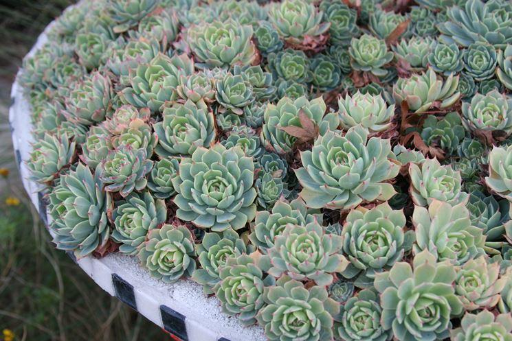 Piante grasse resistenti al freddo piante grasse piante grasse che resistono all 39 inverno - Piante grasse da esterno in inverno ...
