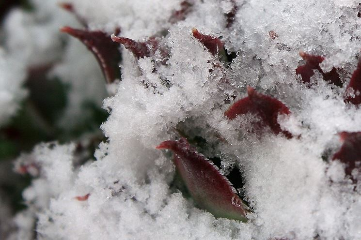 una pianta grassa tra del ghiaccio