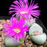 Piante in fiore di Argyroderma