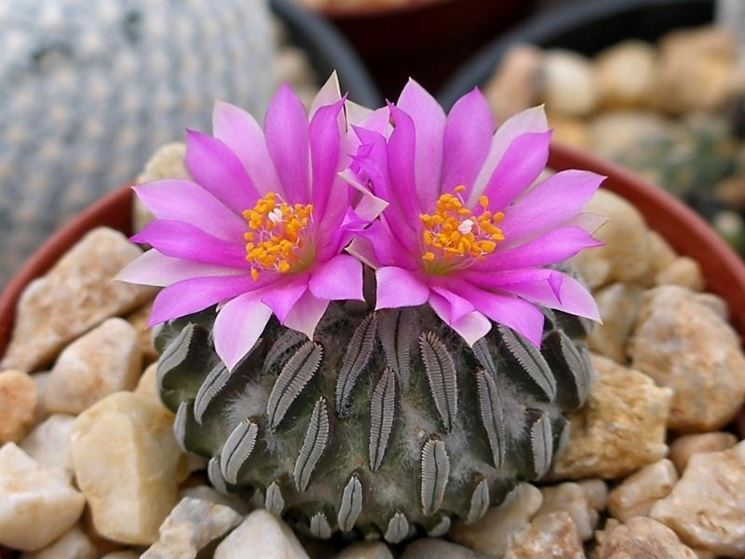 Piante di Pelecyphora in fiore